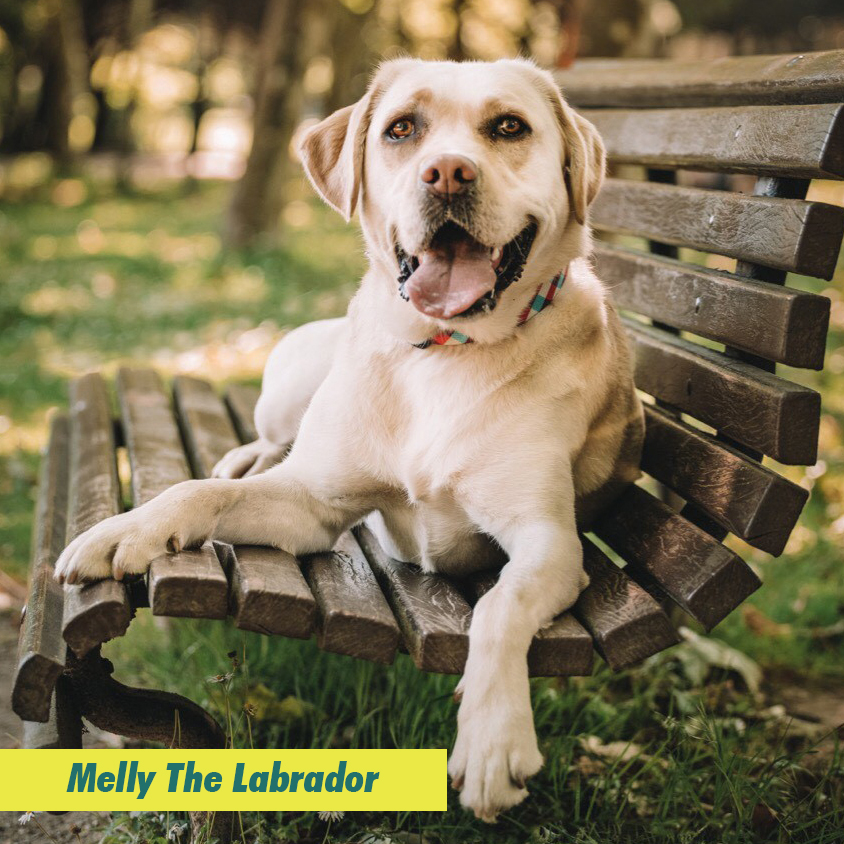 Melly The Labrador