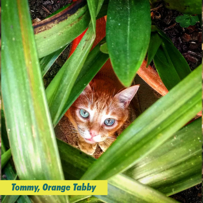 Tommy, Orange Tabby